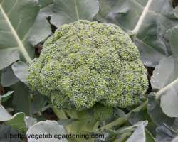 photo of growing broccoli