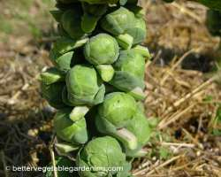 photo of growing brussel sprouts