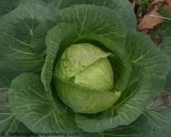 photo of growing cabbages