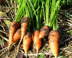 photo of growing carrots