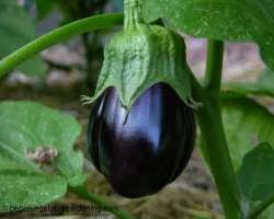 photo of growing eggplant