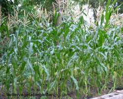 photo of growing sweet corn