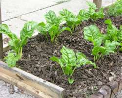 photo of growing swiss chard