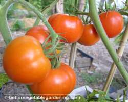 photo of growing tomatoes
