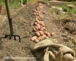 Photo of harvesting potatoes