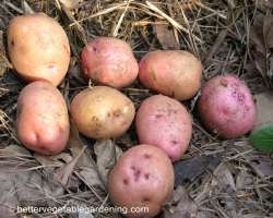 Photo of seed potatoes