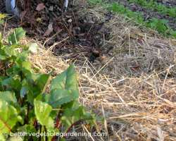 Photo of straw is excellent for sheet composting