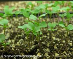 Photo of Starting vegetable seeds in flats