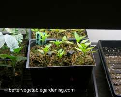 Photo of Starting vegetable seeds indoors