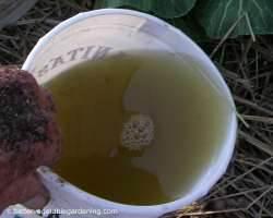 Bucket of the finished alfalfa tea