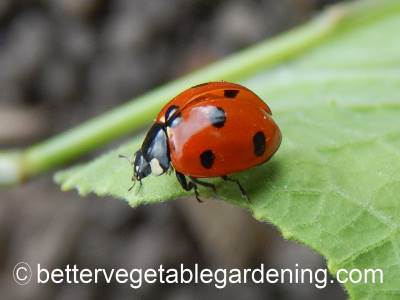 A seven spotted lady bug