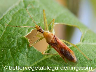 One of many assassin bugs