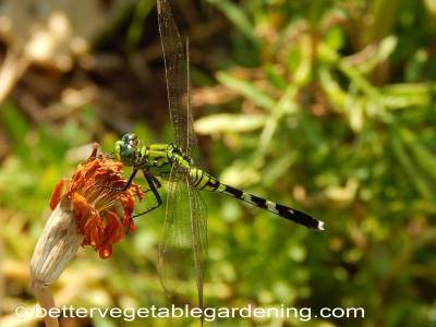 Green and black dragonfly