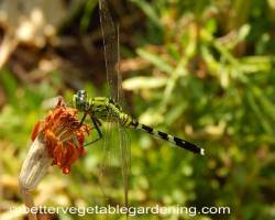Photo of beneficial-garden-insects-dragonfly-green