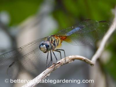 Dragonfly in home garden