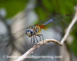 Photo of beneficial-garden-insects-dragonfly-yellow