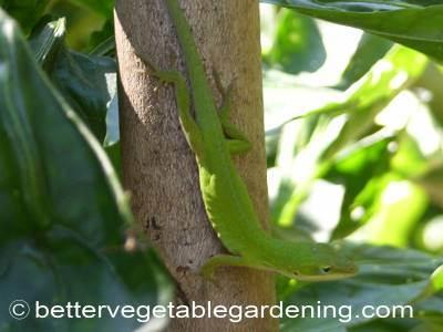 Geckos are beneficial to vegetable gardens