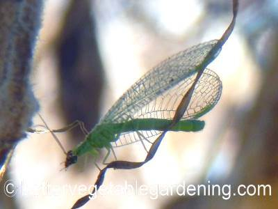 Adult green lacewing laying eggs