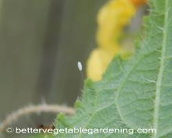 Photo of beneficial-garden-insects-green-lacewing-egg