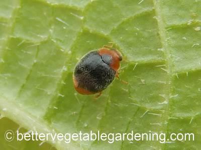 mealy bug destroyer beetle