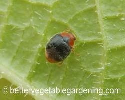 Photo of beneficial-garden-insects-mealybug-destroyer-adult-beetle
