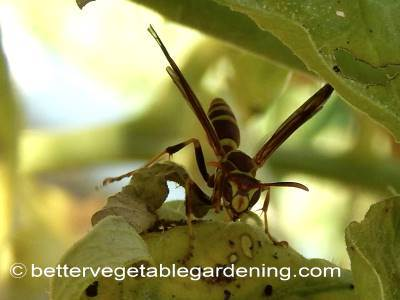 Adult paper wasp