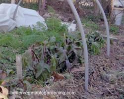 Photo of garden beets