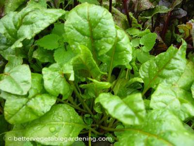 Earlier on in their growth beet leaves can be harvest and used raw in salads