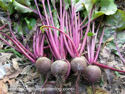 Harvest garden beets when they are young and tender