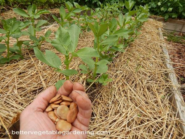 growing-broad-beans plants and dried beans