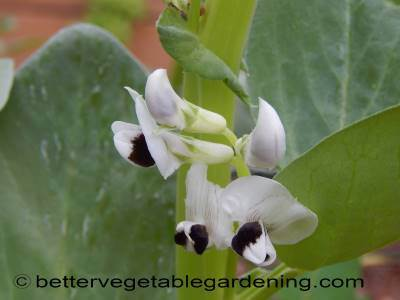 Broad bean flowers are mostly white with irregular dark areas at the base