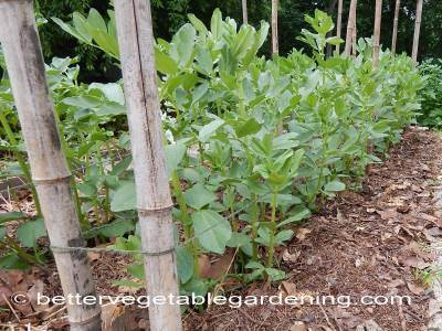 Support is needed when growing fava beans