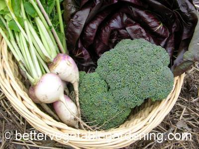 Harvest basket of broccoli head, young turnips  and Radicchio