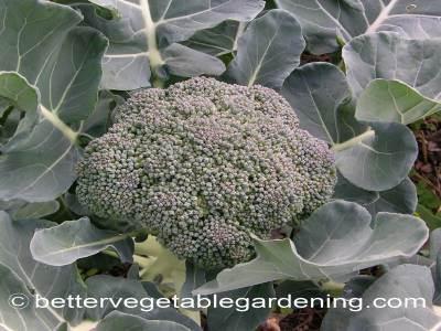 heading broccoli