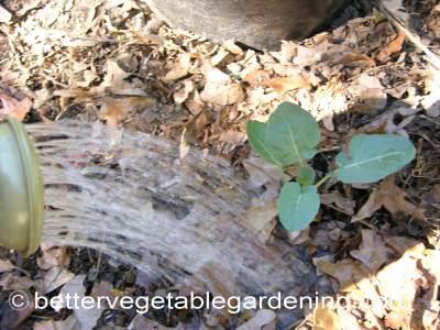 Watering broccoli seedlings