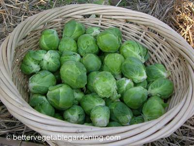 Depending on the variety a single brussel sprout plant may produce 80-100 sprouts