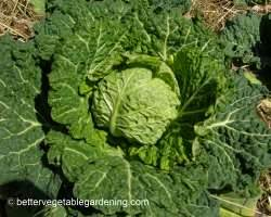 Photo of growing cabbages with curly or savory leaves