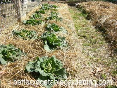 Mulching cabbages to reduce weeds and conserve soil moisture is always a good plan