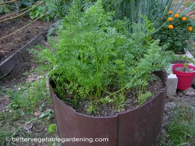 You don't even need a garden to grow carrots they will grow very well in a container or half drum like this one.