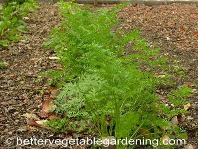 start thinning carrots at about 3 weeks and keep thinning as needed to ensure they have room to grow