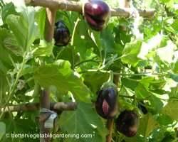 Photo of growing black beauty eggplant