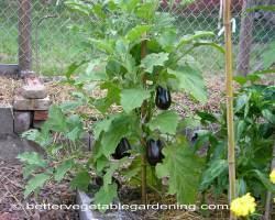 Photo of growing-eggplant-trellis-1