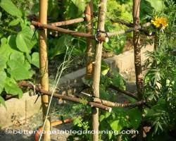Photo of growing-eggplant-trellis-2