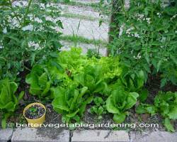 Photo of growing-lettuce-interplanting