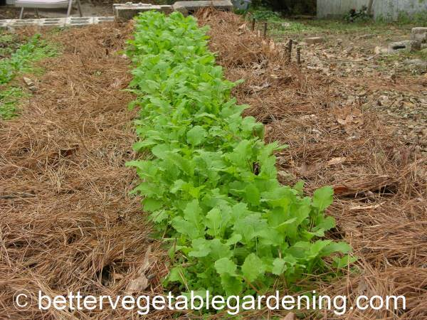 Growing Mustard Greens In The Home Vegetable Garden