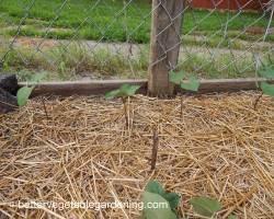 Photo of growing climbing beans