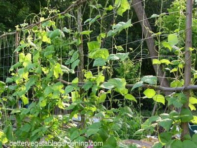 Growing Pole Beans The Complete How To