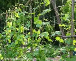 Photo of growing-pole-beans-trellis-netting