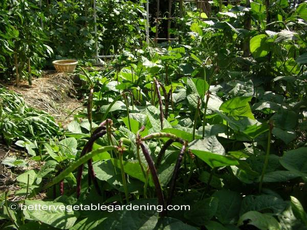 Growing Southern Peas In The Home Vegetable Garden
