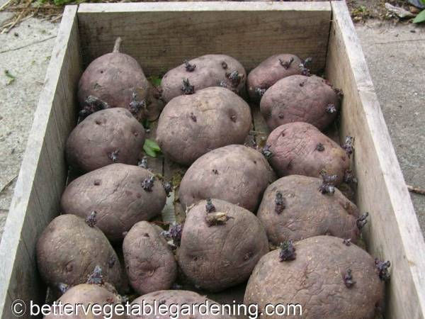 Box of chitting-potatoes